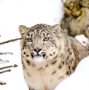 Get Ready for First Snow Leopard Show by Uttrakhand Tourism