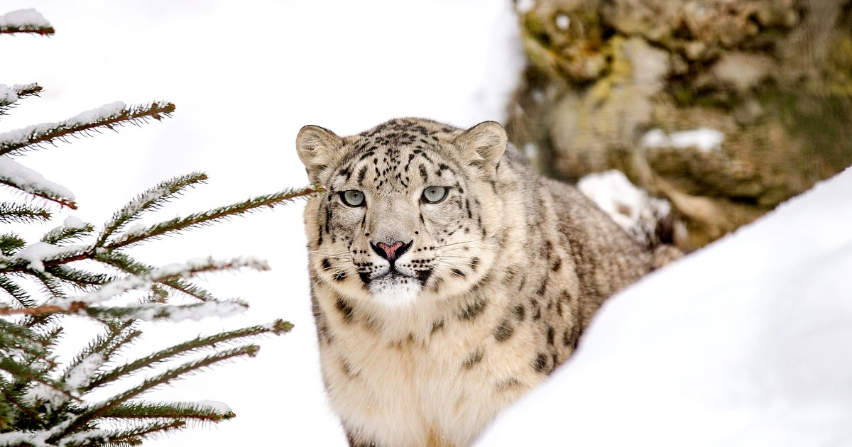 Snow Leopard Show by Uttrakhand Tourism
