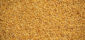 Tripura Government To Purchase 20,000 MT Paddy At MSP To Boost Farm Economy