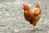 Everything you need to know about Avian flu and its symptoms